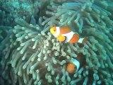 poissons clowns aux Philippines