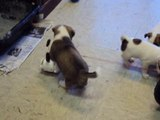 Terrier Puppies Playing with Fisher Price Toy Dog and Monkey
