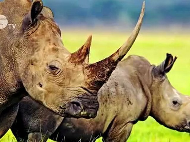 STOP IT -  together we can end illegal trade in rhino horn - Part 2
