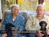 Quand des chiens paralysés retrouvent l'usage de leurs...
