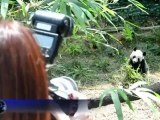 Le zoo de Singapour accueille deux pandas géants