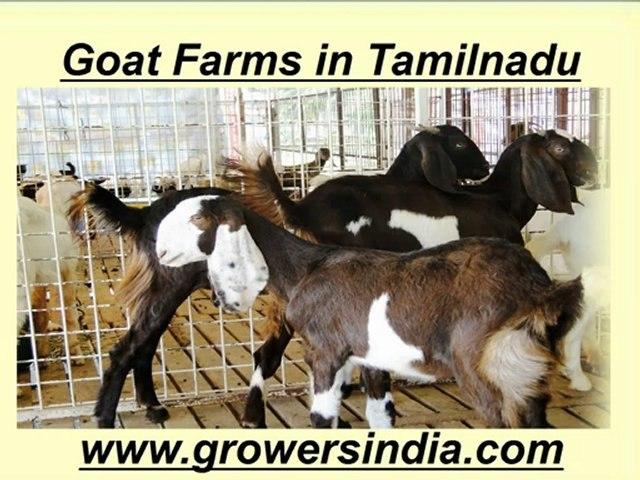 Goat Farms in Tamilnadu