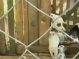 Dalmatian feeds piglet and baby goat along with her puppies
