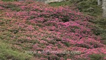 1113.Rhododendrons in Sikkim.mov