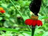 196. Butterflies on flowers-MPEG-4 800Kbps.mp4