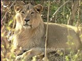 Gujarat-Gir-DVC-4-lion.mov