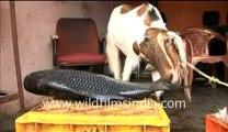 Goat eating fish_2-MPEG-4 800Kbps.mp4