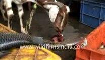 Goat eating fish_3-MPEG-4 800Kbps.mp4