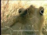 Gujarat-Gir-DVC-5-4.mov