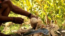 Indonesia-Sumatra-coconut catching-1.mov