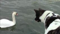 Deux cygnes et un chien sur la Seine, à l'est du pont de l'Archevêché