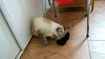 Minette joue avec la chaussette d'herbe à chat