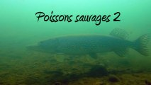 Poissons sauvages 2