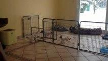 Jeux de chien et chat , chiots chihuahua de 8 semaines au parc