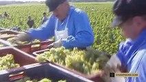 La travail de la vigne : les vendanges