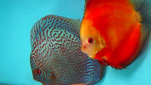 Discus: i bellissimi pesci dai colori vivaci