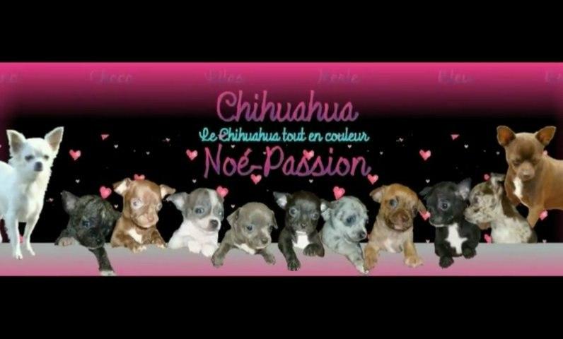"""Chihuahua Noé-Passion  """"Les BB de princesse Fiona et du beau Caesar"""