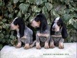 Chiots Basset bleu de Gascogne L.O.F | Blue Gascony Basset Puppies | Elevage d'An Naoned