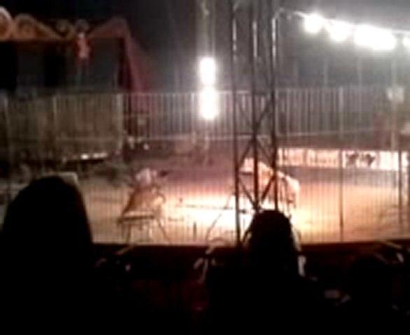 Тигр загрыз дрессировщика