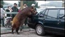 Sanglier fait l'amour à une voiture Volvo