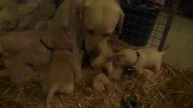 Les bébés labrador à 4 semaines
