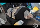 La tartaruga senza pinne nuota con le protesi. I ricercatori hanno progettato uno speciale giubbotto