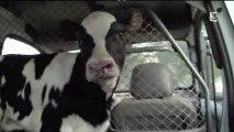Séparation d'une vache et de son veau - Le prix du lait