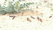 A swarm of locusts invades Israel