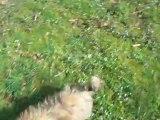Hô-tiki petit Shih-tzu male lof né le 26.10.2012 disponible a l'élevage du clos chadocay