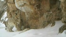 Rare footage of snow leopard in China