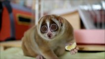 Slow Loris Eating A Banana