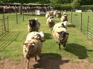 Sheep Racing!