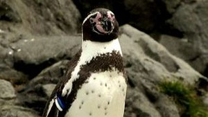 Penguin Escapes From Zoo