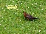 Vögel - Star - Sturnus Vulgaris - European Starling