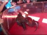 gallo ceniso 2 eme prix en championat le 7/04/13