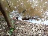 Quand un crocodile mord une anguille électrique