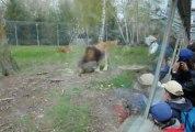 Le repas des lions au Parc de Thoiry