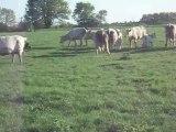 Hobby 6 mois , sur vaches , 1ère fois