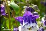 Amazing Nature Scenery flowers Aquilegia vulgaris