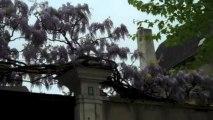 Glycines en beauté à Auxerre