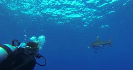 rencontre avec un requin au palier mai 2013 Mer Rouge