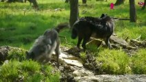 Les loups noirs Timberwolf s'installent au Parc Sainte Croix