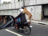 Chien debout en scooter