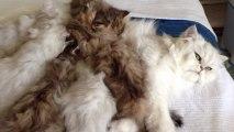 Ronrons des chatons de Donna en train de téter