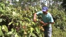 Amazonie : les indiens Satéré Mawé et le commerce equitable du guarana