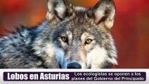 Ecologistas contra el exterminio de lobos en Asturias