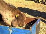 MAROC 2013 - MERZOUGA  - les dromadaires bisous et repas