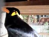 Un Oiseau imite la sonnerie de telephone de votre iPhone