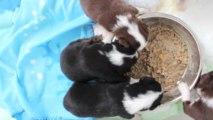 Chiots mini bergers australiens 1ère bouillie