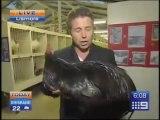 Big Black Rooster Scares Reporter